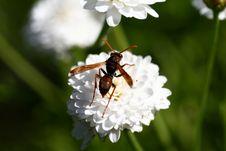 Hornet On Flower Stock Photography