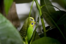 Free Macro Close-up Of Classic Green Parakeet Royalty Free Stock Photography - 4716607