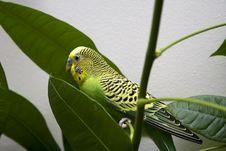 Free Macro Close-up Of Classic Green Parakeet Stock Photo - 4716610
