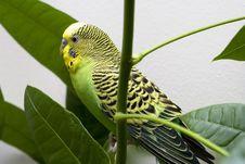 Free Macro Close-up Of Classic Green Parakeet Stock Image - 4716621