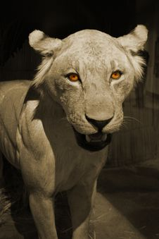 Free Lion Eyes Stock Image - 4716841