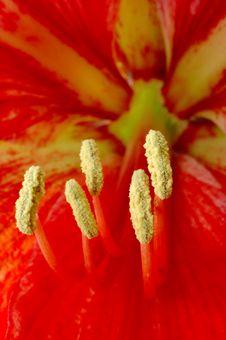 Free Flower Stamen Stock Image - 4717681