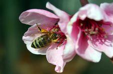 Free Bee Macro Royalty Free Stock Image - 4718036
