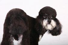 Free Poodle Royalty Free Stock Photo - 4718385