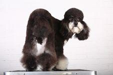 Free Poodle Stock Photo - 4718400