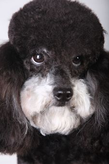 Free Poodle Stock Photography - 4718412