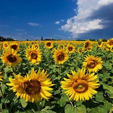 Free Sunflower Stock Photo - 4719030
