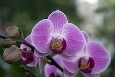 Free Orchid Royalty Free Stock Photos - 4719478