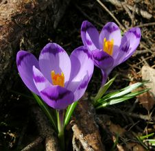 Free Spring Flower, Crocus Stock Photography - 4719992
