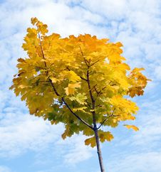 Free Young Maple In Autumn Royalty Free Stock Photos - 4720238