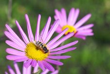 Free Hoverfly On The Aster Royalty Free Stock Images - 4720269