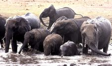 Family Bath. African Elephants Royalty Free Stock Images