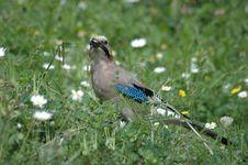 Free Beautiful Jay Bird Stock Photos - 4722383
