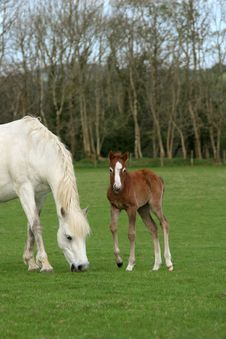 Free Pony And Foal Royalty Free Stock Photo - 4722415