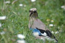 Free Beautiful Jay Bird Royalty Free Stock Image - 4722416