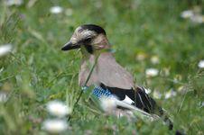 Free Beautiful Jay Bird Stock Images - 4722474