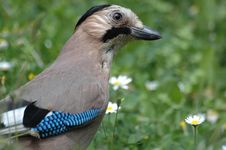 Free Beautiful Jay Bird Stock Photo - 4722480