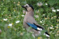 Free Beautiful Jay Bird Royalty Free Stock Photos - 4722498