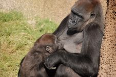 Free Gorilla Nursing Her Young Royalty Free Stock Image - 4722696