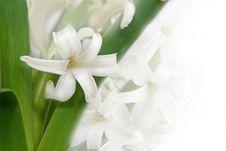 Free White Hyacinth Royalty Free Stock Photos - 4723228