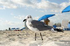 Free Seagull On The Beach Royalty Free Stock Images - 4723829