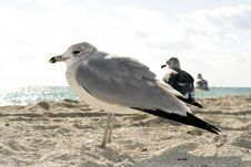 Free Seagulls On The Beach Stock Photo - 4723920