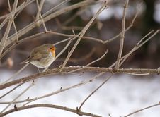 Free Winter Robin Stock Photography - 4724162