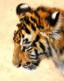 Free Sad Tiger Cub Royalty Free Stock Images - 4724169