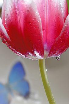Free Red Tulip Royalty Free Stock Photos - 4725428