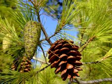 Free Fir Cones On The Tree Royalty Free Stock Photo - 4725475