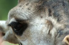 Free Closeup Of Giraffe Stock Photography - 4725972