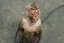 Free Grinning Wet Monkey Royalty Free Stock Images - 4726339