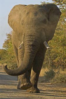 Free Angry Elephant Royalty Free Stock Photos - 4726778