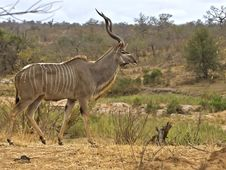Free Biyamiti Kudu Bull Stock Photography - 4726802