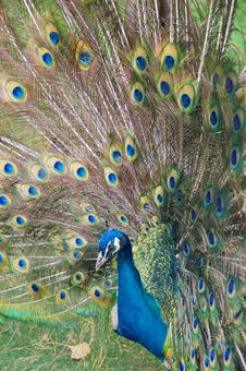 Free Peacock Stock Images - 4726924