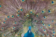 Free Peacock Royalty Free Stock Photo - 4726925
