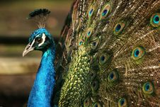 Free  Blue Ribbon  Peacock Stock Image - 4729101