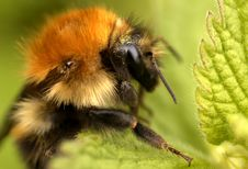 Free Bee On A Hedge Woundwort Plant Stock Photo - 4729280