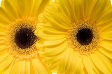 Free Yellow Gerber. Stock Images - 4729574