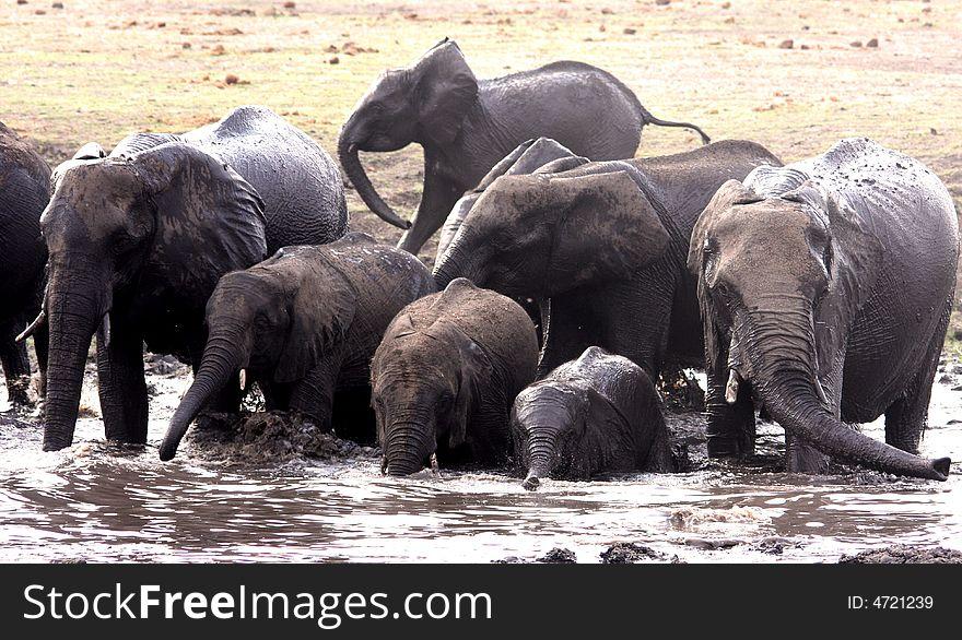 Family bath. African elephants