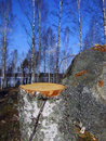 Free Tree Stump Royalty Free Stock Image - 4730216