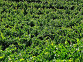 Free Grape Vines Royalty Free Stock Images - 4734569