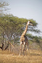 Free Giraffe In The Kruger Stock Photography - 4735172