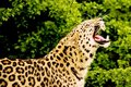 Free Amur Leopard Stock Photos - 4736233