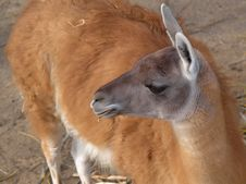 Free Lama Chewing On Straw Royalty Free Stock Images - 4730219
