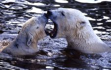 Free Polar Bear Royalty Free Stock Photo - 4730255
