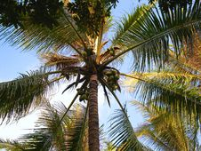 Free Coconut Tree Royalty Free Stock Photography - 4730437
