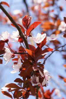 Free Spring Buds, Wild Tree Royalty Free Stock Photos - 4730498