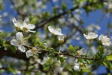 Free Spring Buds Simphony Royalty Free Stock Photos - 4730508
