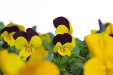 Free Pansies Royalty Free Stock Image - 4731126